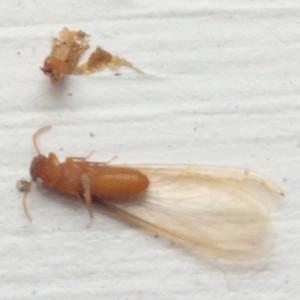 dead termite up close crestview fl